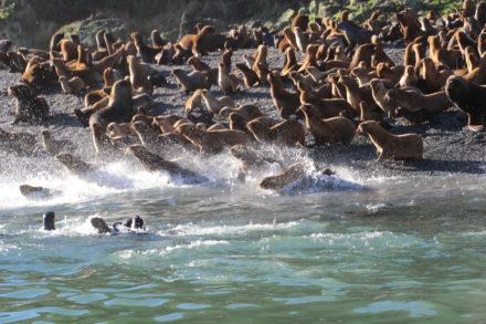 Søløver til havs i hast! Tæt ved stranden ved Puñihul