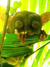 Et lille sødt dyr som kun lever på Filippinerne